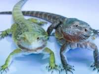 Guide to keeping Bearded Dragons