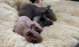 Skinny pigs and Guinea Pigs