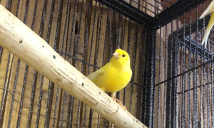 Yellow Fife Canaries